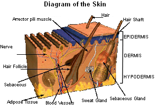 Diagram of skin